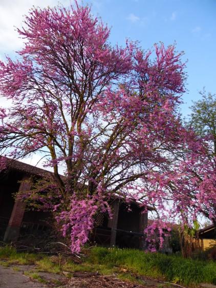 Juda's Tree