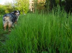 cane culone